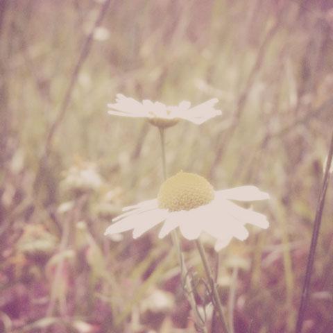 Dreamy-daisy